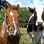 http://mogilev.freeads.by/content/root/users/2014/20140604/visitor/images/201406/f20140604233504-1292310541_horse-and-cow.jpg