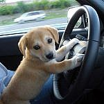 http://www.doglib.com/wp-content/uploads/dr/drever-awesome-cute-puppies-breed.jpg